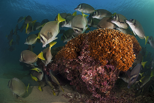 Yellowtail Surgeonfish (Prionurus punctatus) grazing on the reef, San Agustin Bay, Huatulco Bays National Park, southern Mexico, November