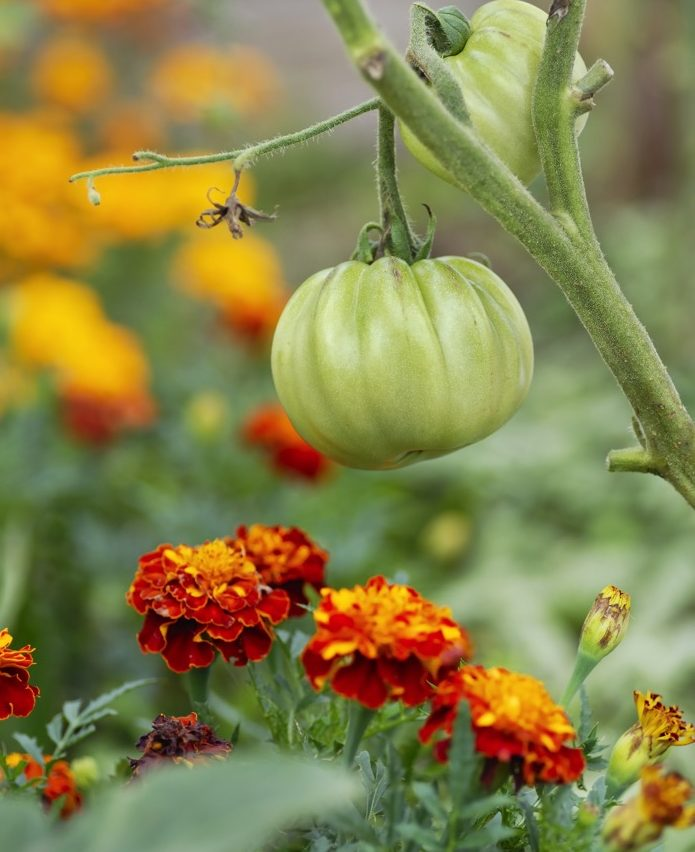 Tomatoes and marigolds,  a perfect pairing | Shutterstock.com