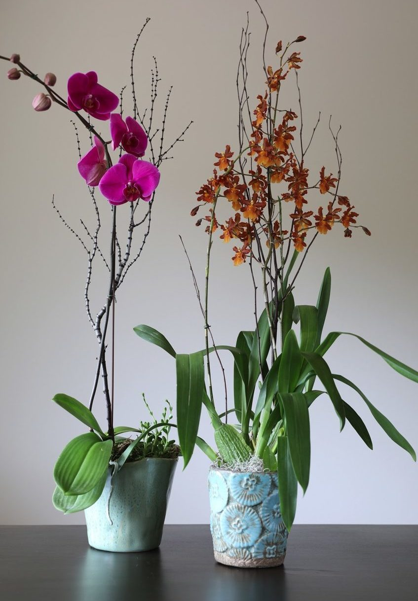 Tall | Phalaenopsis Orchids &  Oncostele Wildcat Carmela Orchids