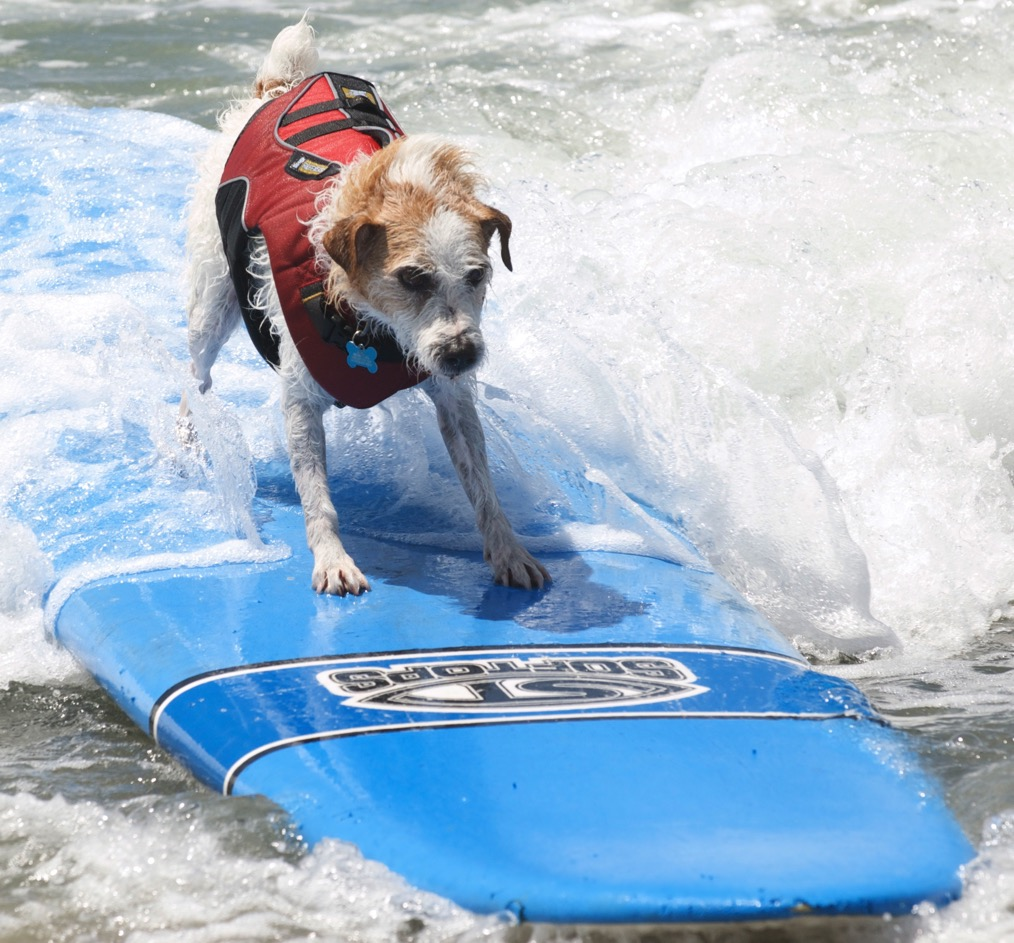 Loews Surf Dog- Buddy  | Courtesy Dale Porter, Loews Surf Dog Competition