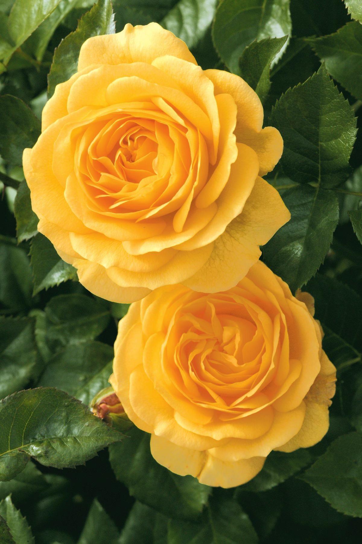 Rose Julia Child™
