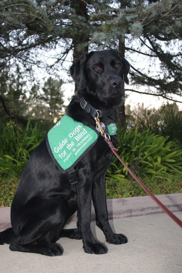 Al in training to be a Guide  Dog for the Blind