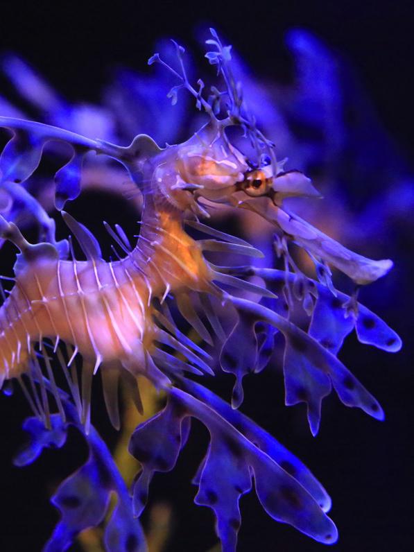 Leafy sea dragon in dramatic blue light.