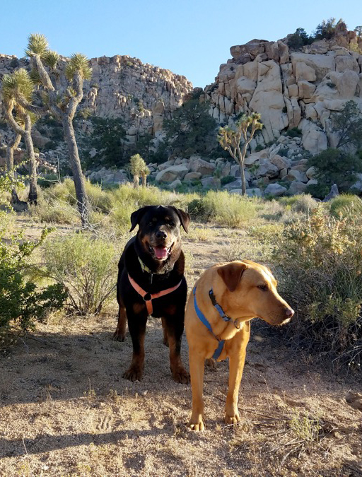 Seurat and Luke searching in Joshua Tree National Park