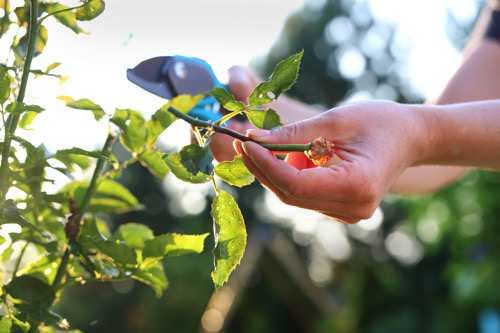Proper winter pruning encourages growth   SHUTTERSTOCK.COM