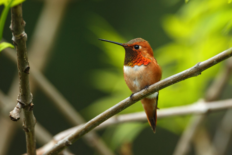 Rufous Hummingbird   SHUTTERSTOCK.COM
