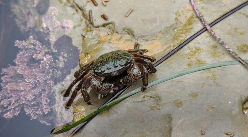 Shore Crab |  shutterstock.com