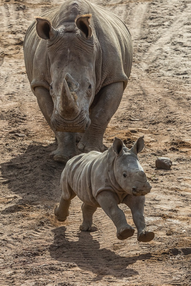 Southern white rhino calf at the Nikita Kahn Rhino Rescue Center