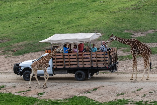 Feeding the giraffes on the Caravan Safari Adventure